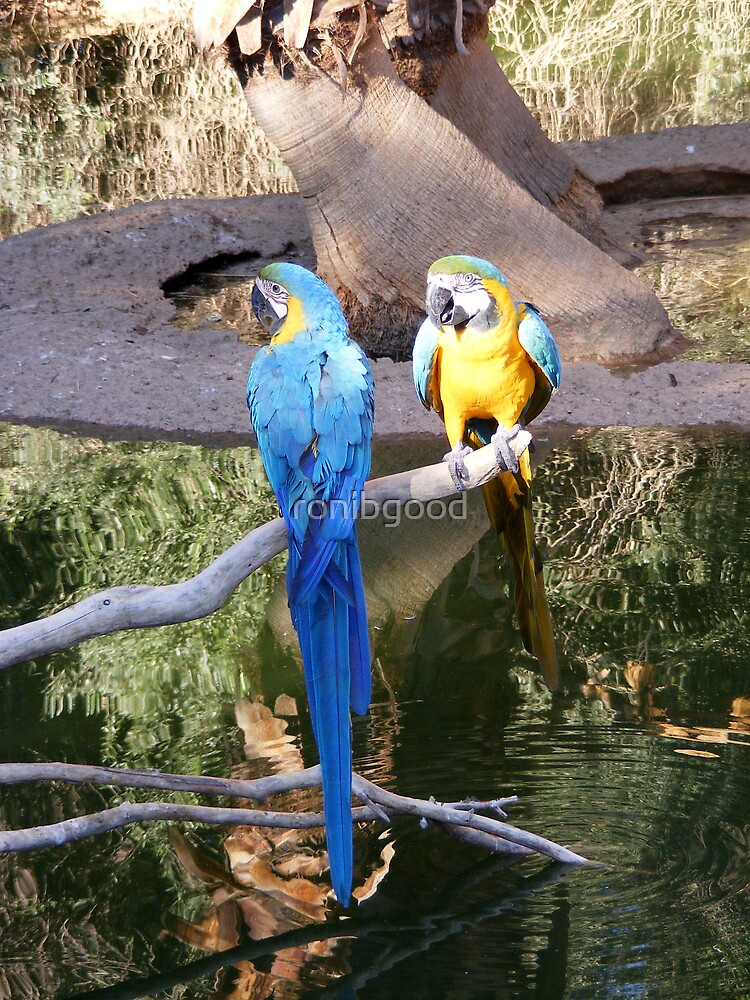 Parrots by ronibgood
