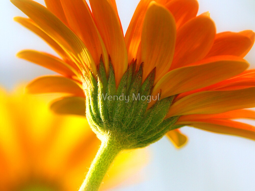 Beautiful Gerbera by Wendy Mogul