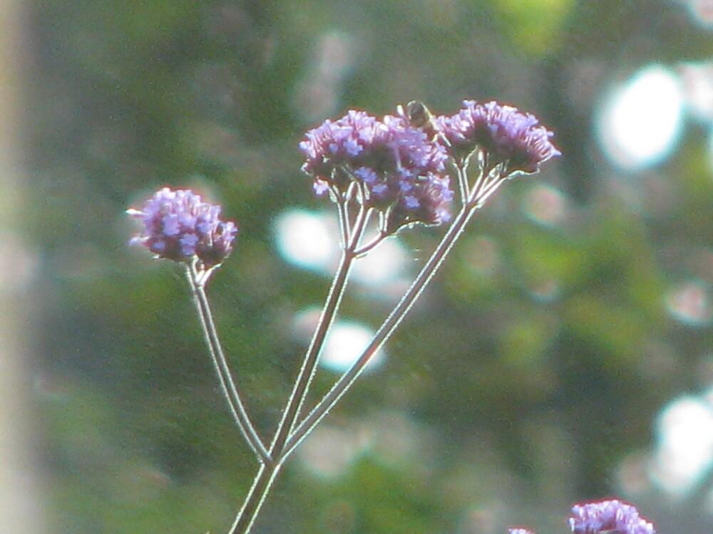 Purple haze by Alison Mudd