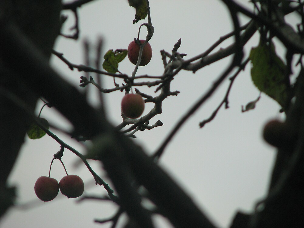 Apples, Autumn by Alison Mudd