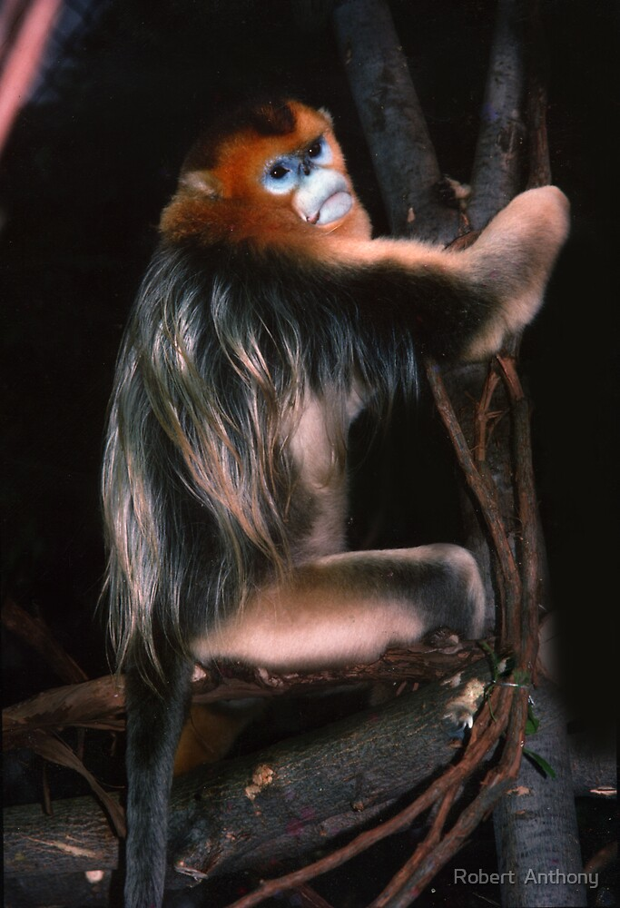 Thoughtful Primate by Robert  Anthony