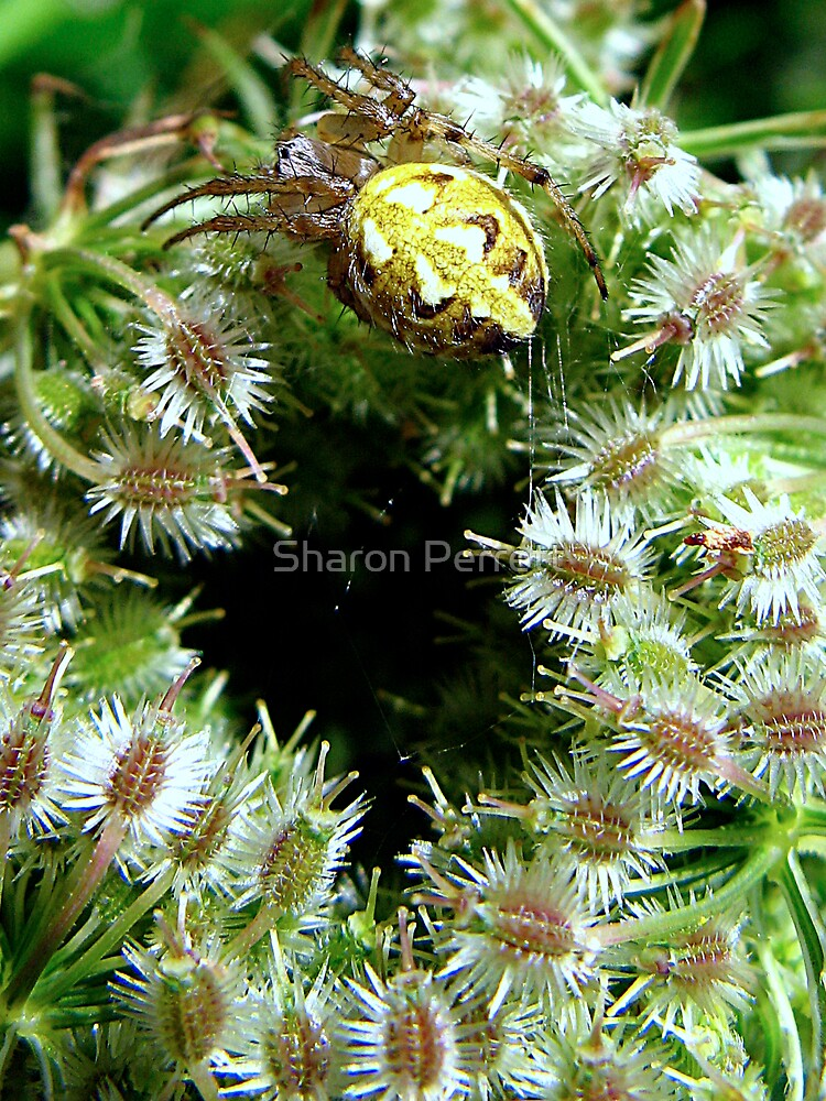 Spider on Wild Carrot plant by Sharon Perrett
