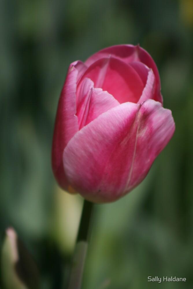 Pink Tulip by Sally Haldane