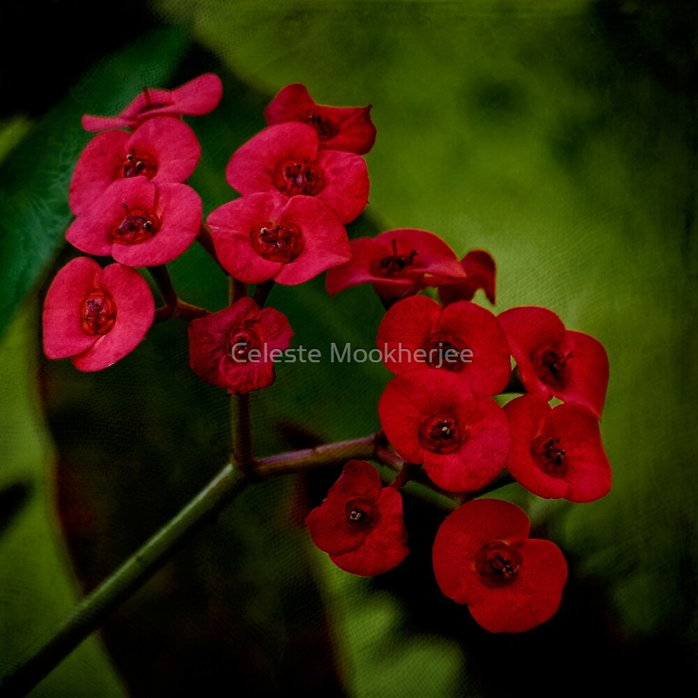 Red euphorbia by Celeste Mookherjee