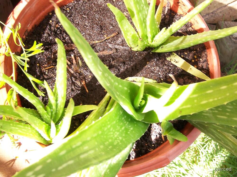 Aloe  by pierced