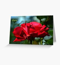 Red Rose ...... Greeting Card