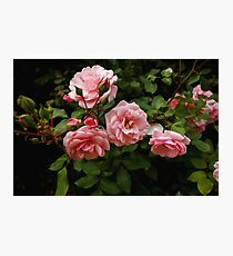 Natural pink roses on bush Photographic Print