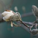 Wounded Magnolia  by Jeff stroud