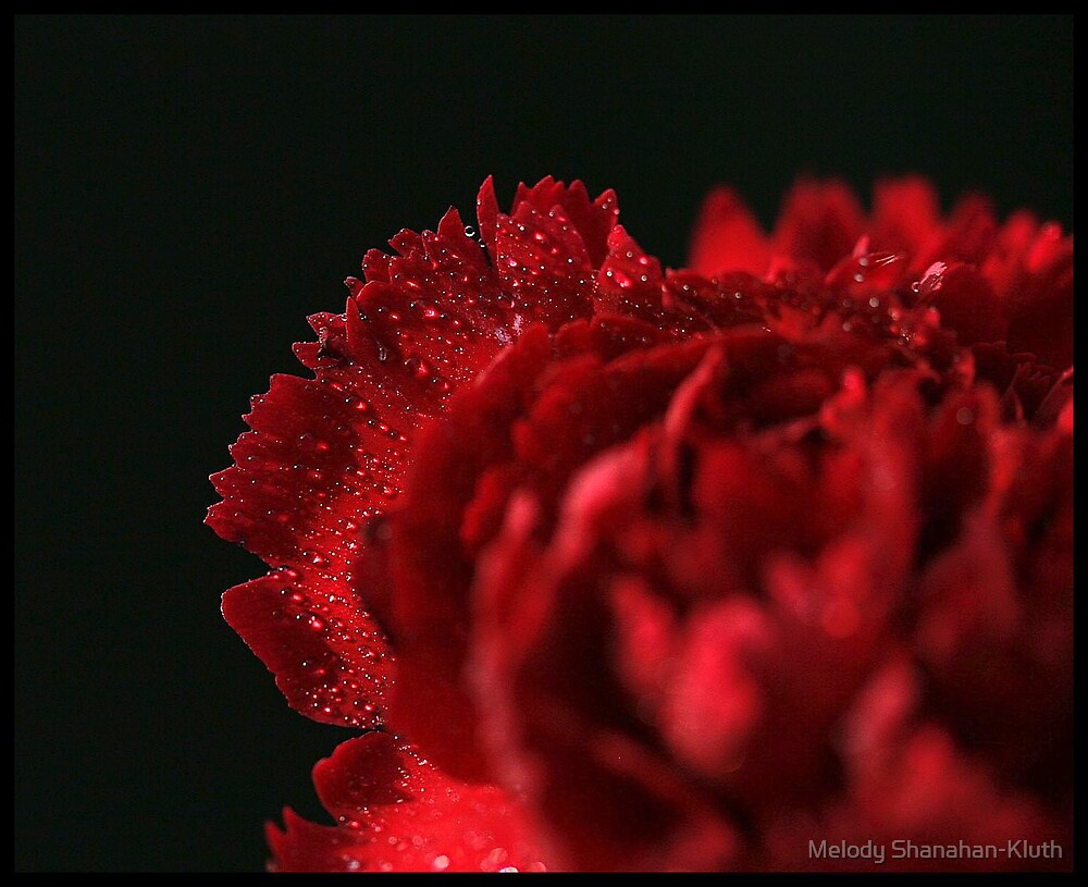 Red Carnation by Melody Shanahan-Kluth
