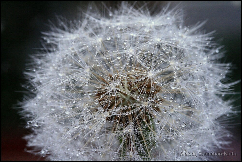 Dandelion and rain by Melody Shanahan-Kluth