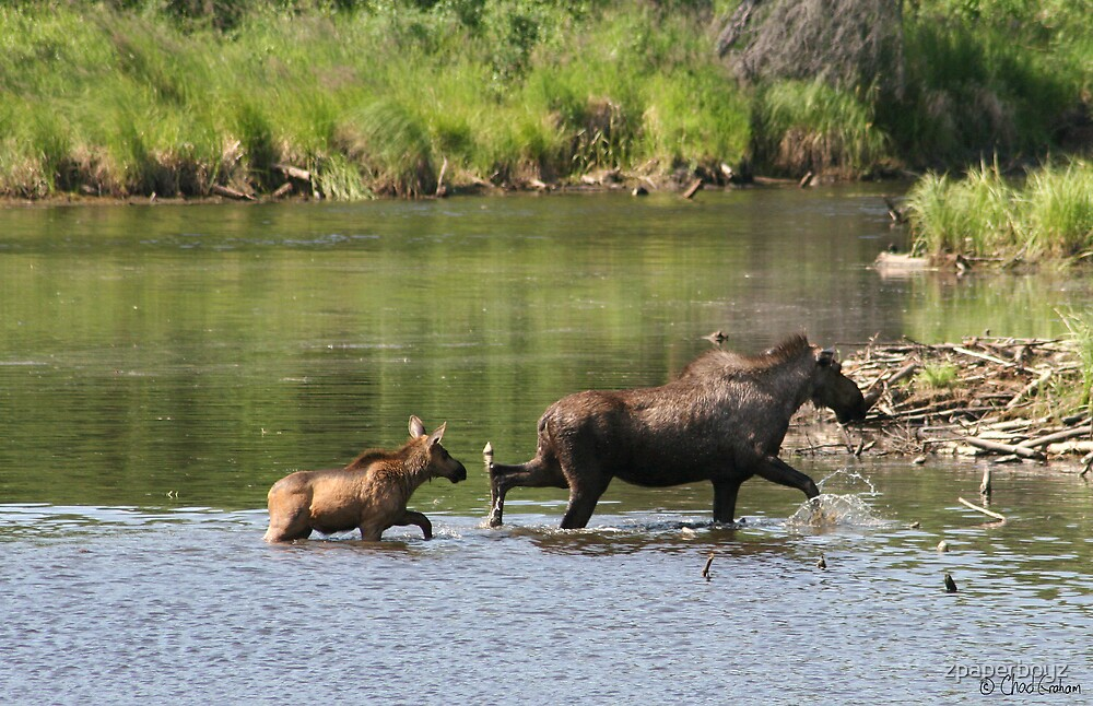 Moose Cow and Calf  by zpaperboyz