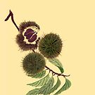 Chestnuts from Amphai Masquelier by Baina Masquelier