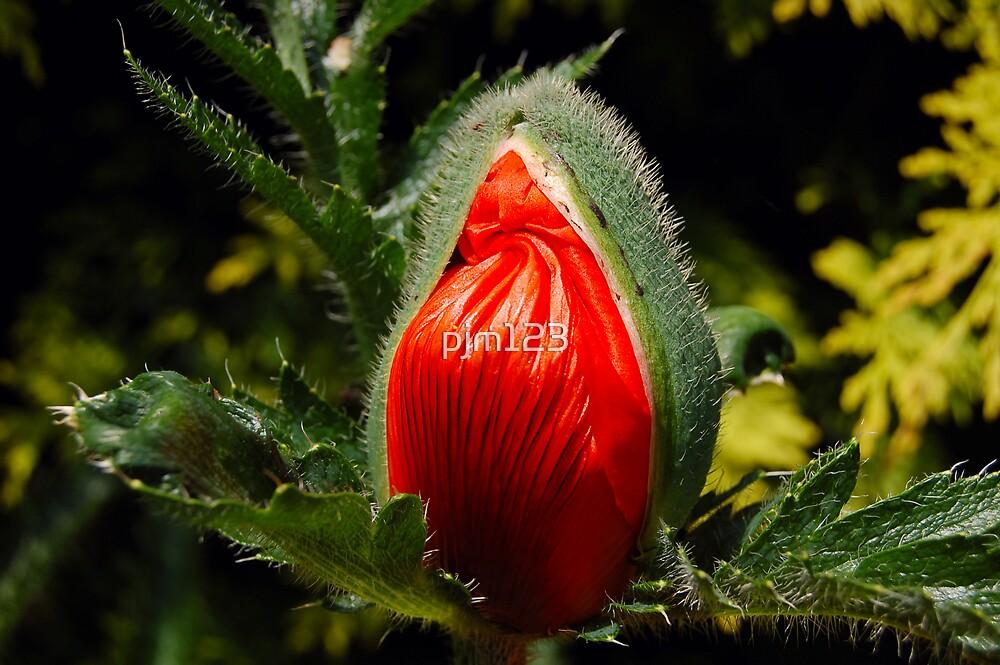 Waking Poppy by pjm123