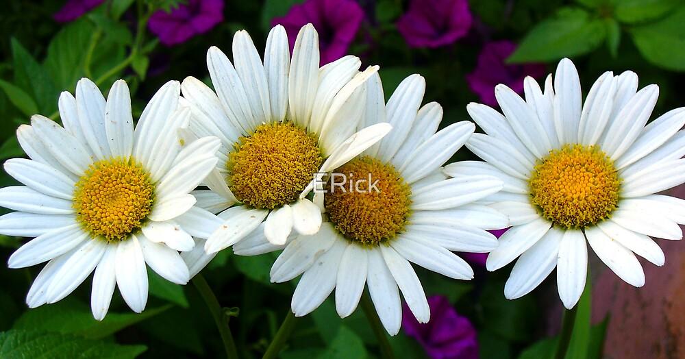 4 Daisy's by ERick