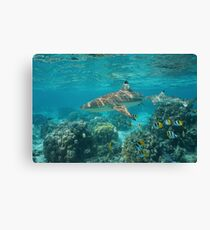 Blacktip reef shark with fish Pacific ocean Canvas Print