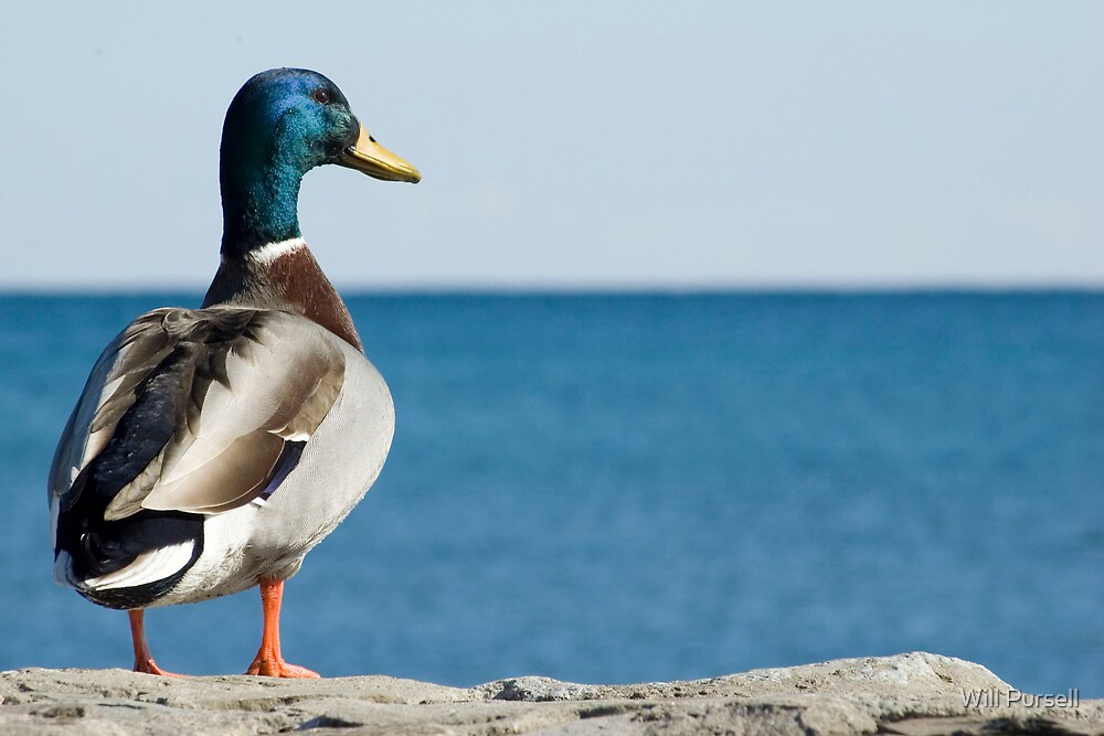 duck by Will Pursell