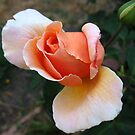 Today's rose by Basil