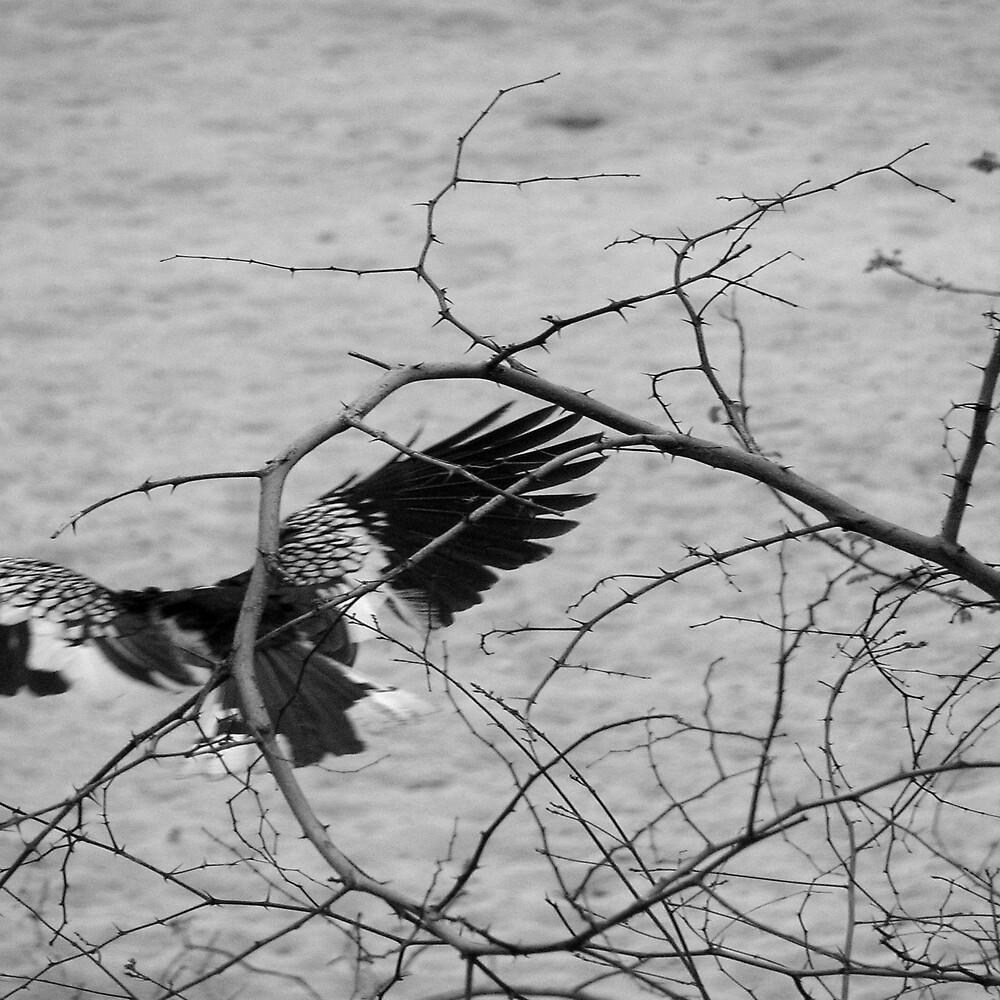 African hornbill by Louw Agenbag