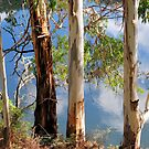 Gum Trees by Xavier Russo