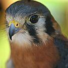 Falcon by Tokay
