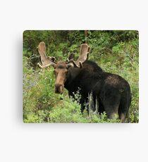 East Canyon Moose Canvas Print