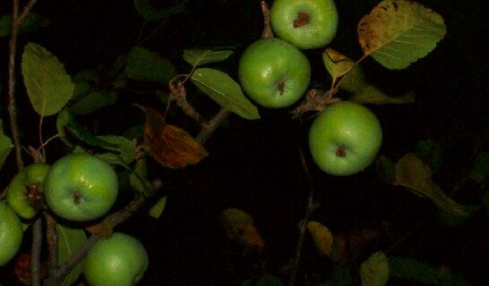 Apples After Dark by viqi