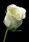 White Rose by Dave Lloyd