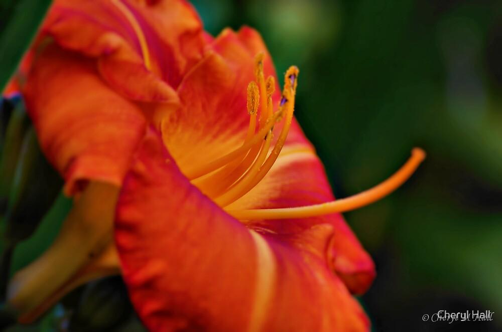 Sunbloom. by Cheryl Hall