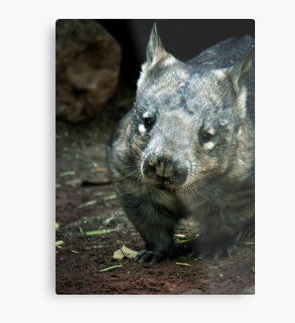 Hairy Nose Wombat Metal Print
