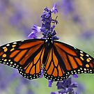 Butterfly by Tokay