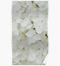 Hydrangea Flowers White Blossom Floral Photography Poster