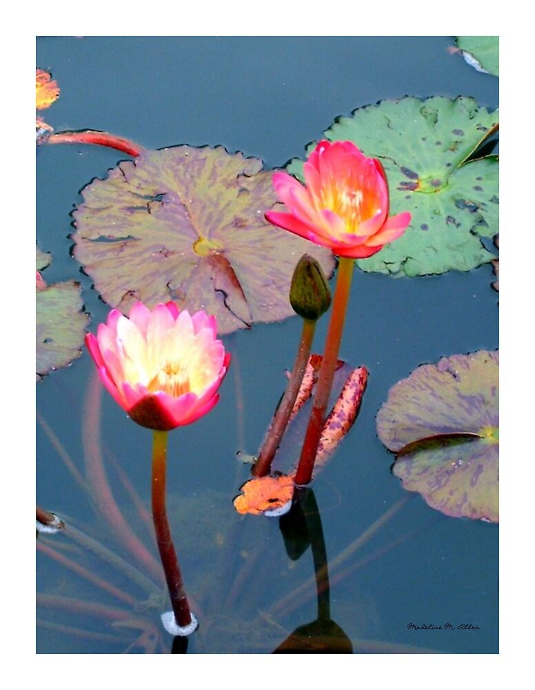 Pond Lillies by Madeline M  Allen