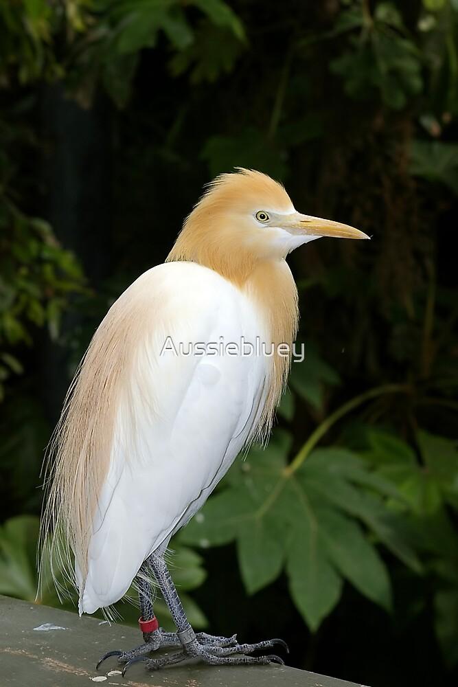 Cattle Egret. by Aussiebluey