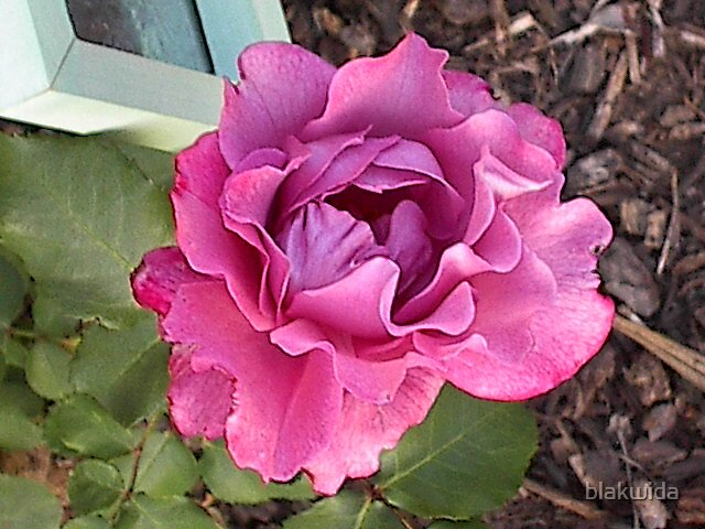 red rose by blakwida