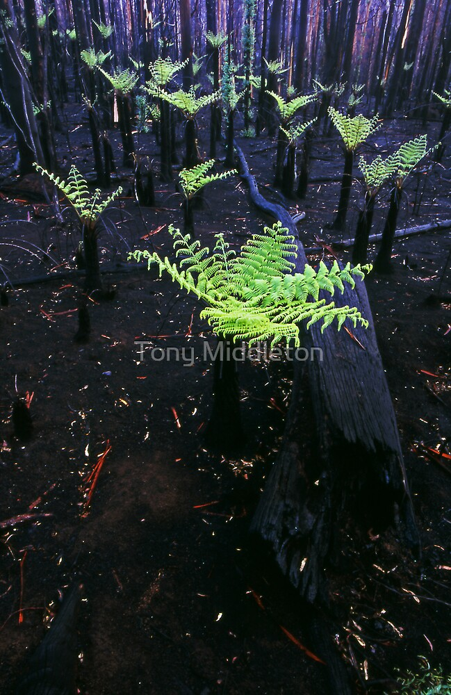 after the fire...after the rain...Regeneration. by Tony Middleton