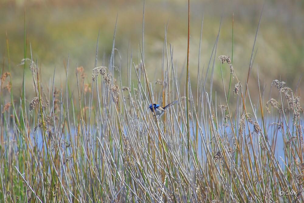 blue wren in winter by piclex