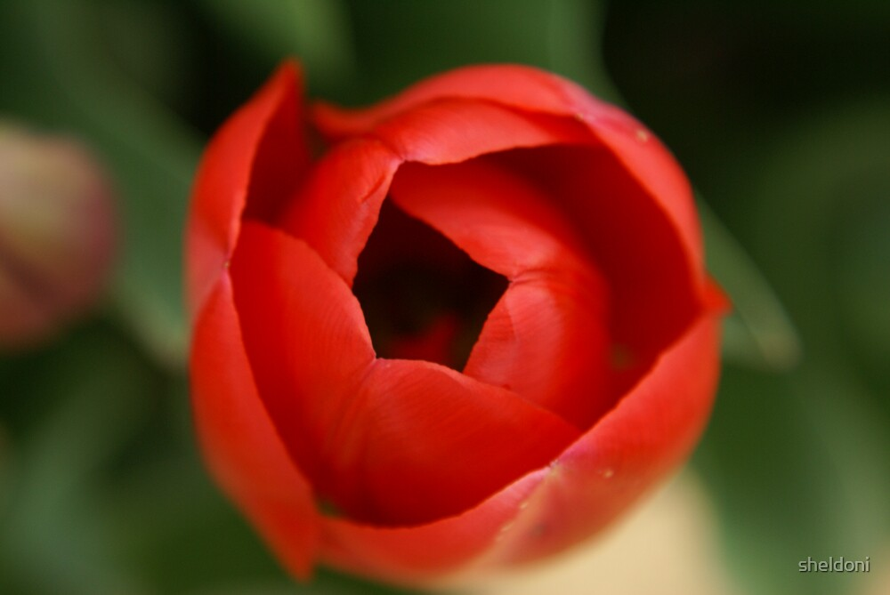 """Tulip"" by sheldoni"