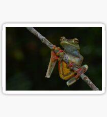 Scarlet-webbed Tree Frog (Hyla rufitela) Sticker