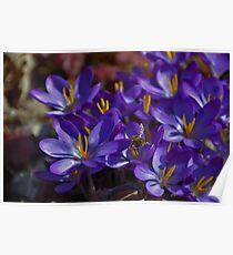 Pollination of Crocuses Poster