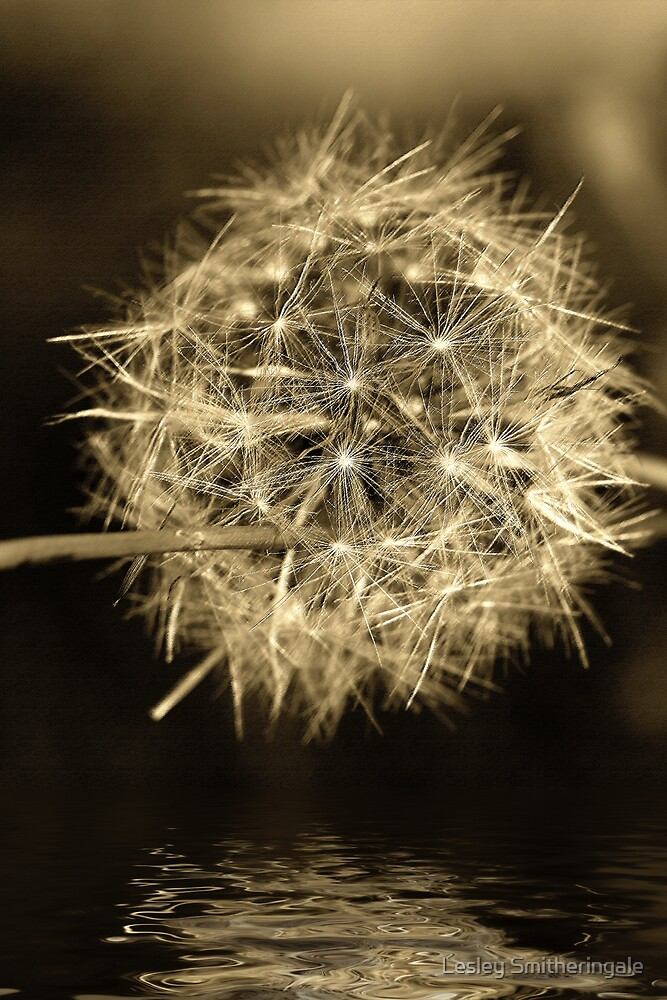 Faded Dandelion Tears in conte by Lesley Smitheringale