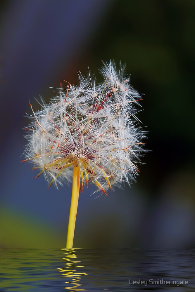 Make a wish! by Lesley Smitheringale
