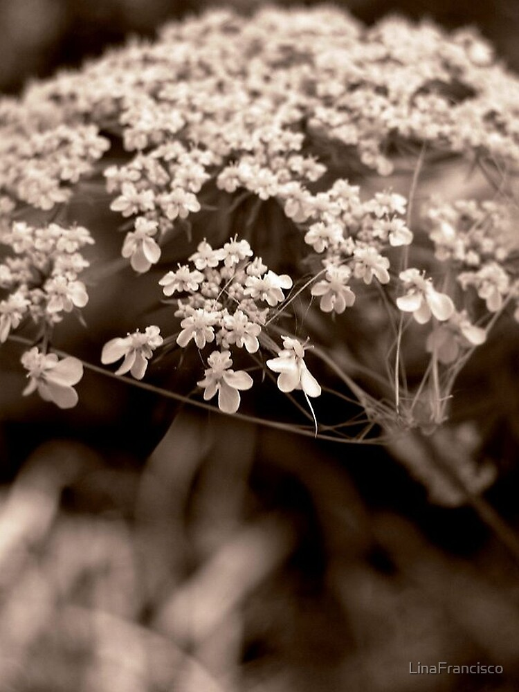 Queen Anne's Lace by LinaFrancisco