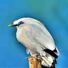 Bali Starling by Larry Trupp
