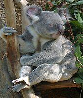 Koala Bear by triciaoshea