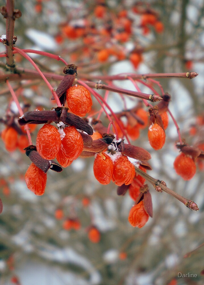 Berries and Snow by Darline