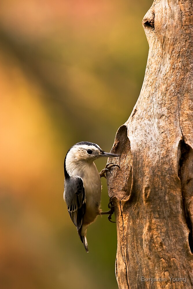 White-breasted Nuthatch by Benjamin Young