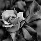 Faded Beauty by Renee Rorrer