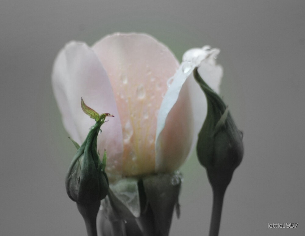 Rosebud in Black and White - (Focal Colour)  by lettie1957