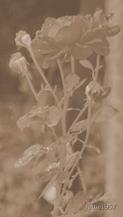Rose in Sepia  by lettie1957