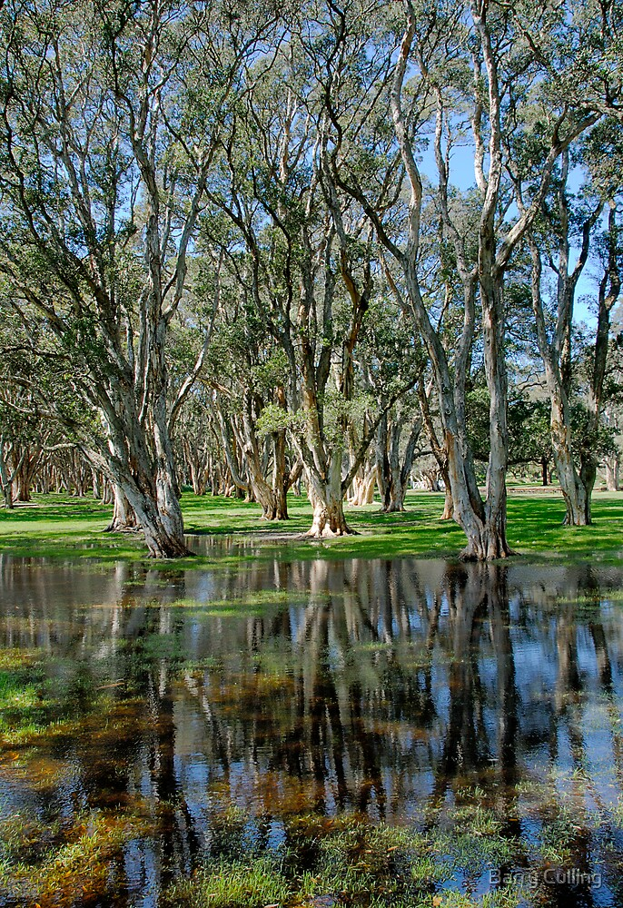 trees reflected in puddles centennial park by Barry Culling